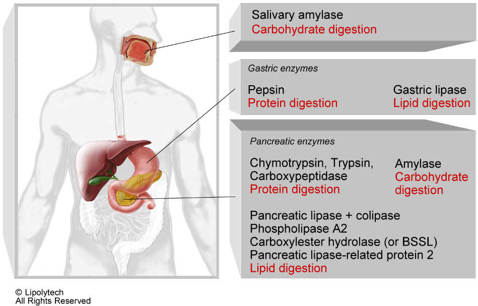 salivary amylase Human salivary alpha amylase (hsamy) is an important enzyme found in the oral cavity it belongs to the glycoside hydrolase family and exists in various isoforms in salivary secretions.