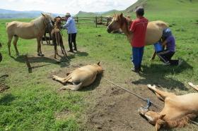 Traite des juments chez les nomades de Mongolie
