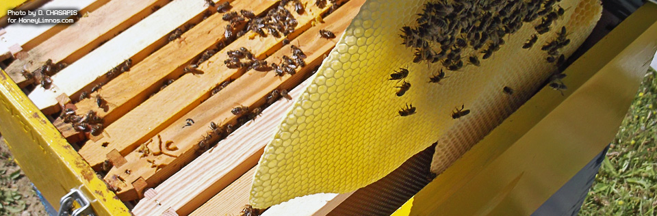 image1. Honey bees on honeycomb in the beehive. Photo2: Honey Bees sp. Apis mellifera and Queen (white marking). Greek limnos honey.