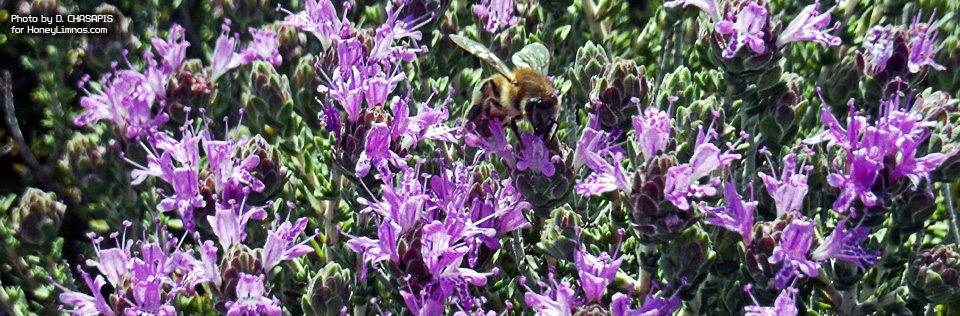 image1: Honey bee on wild Thyme sp. thymus capitatus collects pollen. HoneyLimnos. Image2: Greek wild Thymus capitatus.