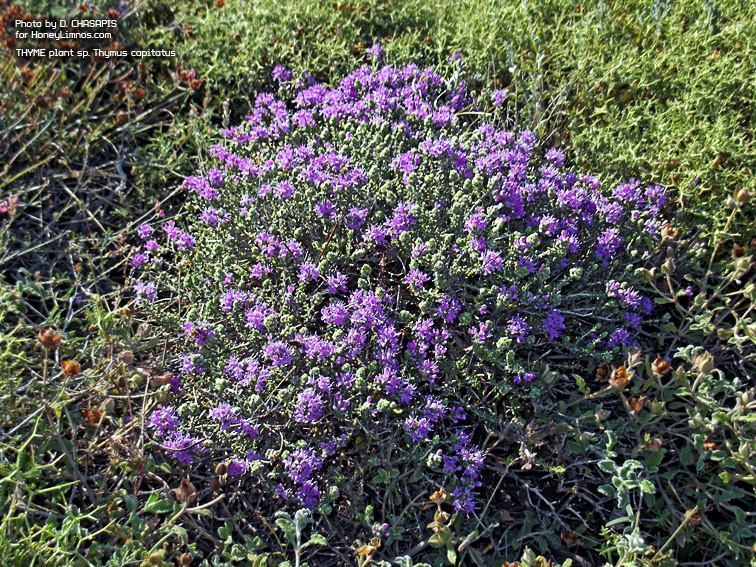 Greek wild Thyme plant sp. Thymus capitatus photo. Honey Chasapis lemnos island.