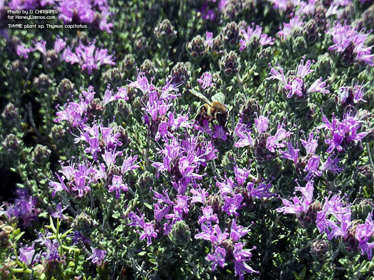 Honey bee on sp. thymus capitatus collects pollen. HoneyLimnos quality greek wild thyme honey by dimitris xasapis limnos.