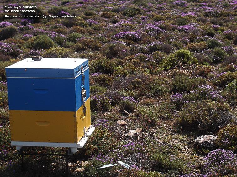 MeliLimnou: Μέλι Λήμνου. Κυψελη Δημητρη Χασαπη, εγκατεστημενη σε θυμαροτοπο στο χωριο Σκανδάλη, Λημνος.