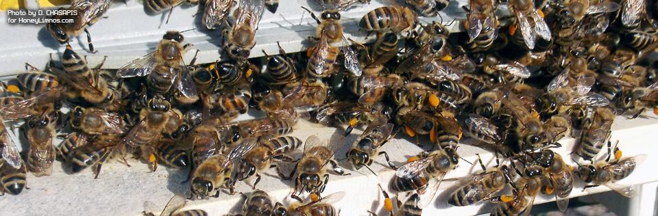Mελι Λημνου φωτο: Μελισσες στην εισοδο της κυψελης μεταφερουν γυρη.
