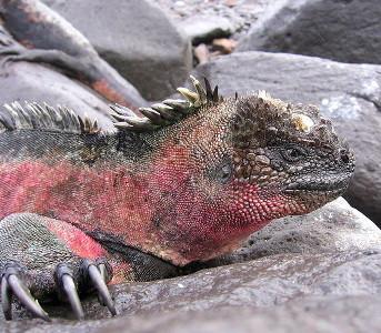 Iguane aquatique