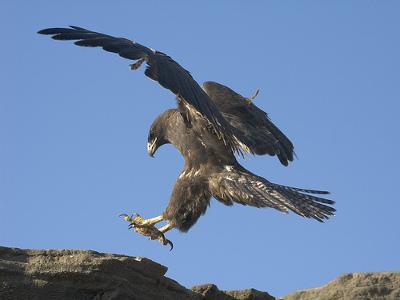 Le faucon des Galàpagos