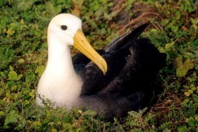 L'albatros des Galàpagos