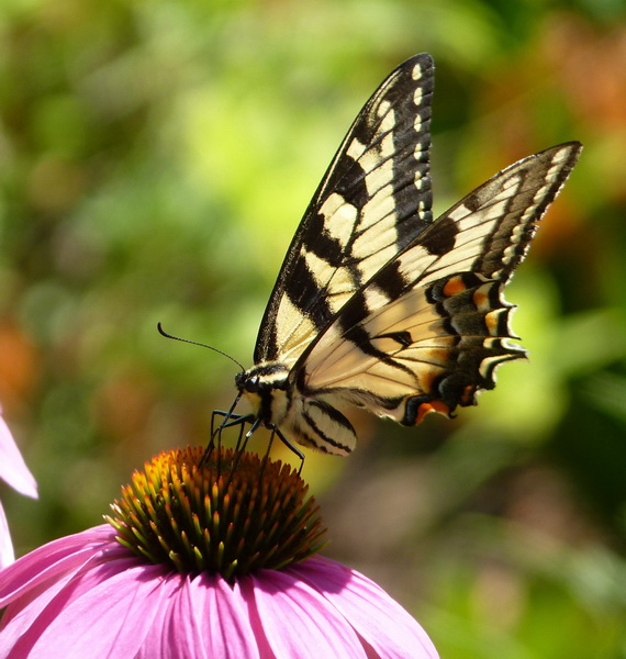 Tantalize Your Butterflies (or How to Make a Container Garden a Habitat)