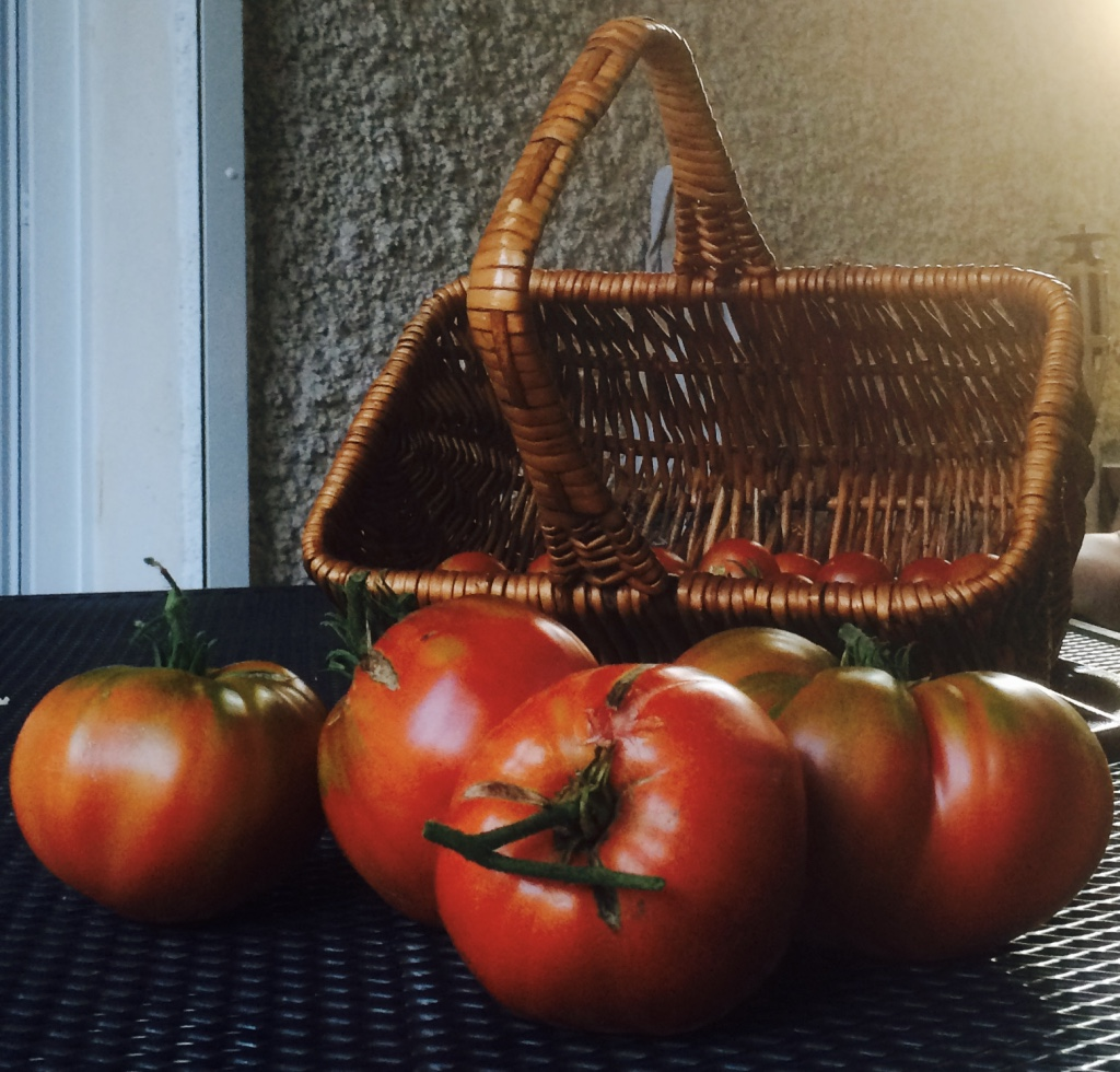 Les tomates du potager (photo A. VILLA)